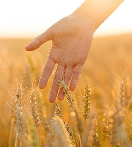 lähikuva kädestä, joka koskettaa vehnää pellolla