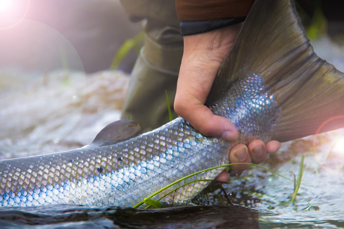 kalastaja nostsaa kalaa pyrstöstä